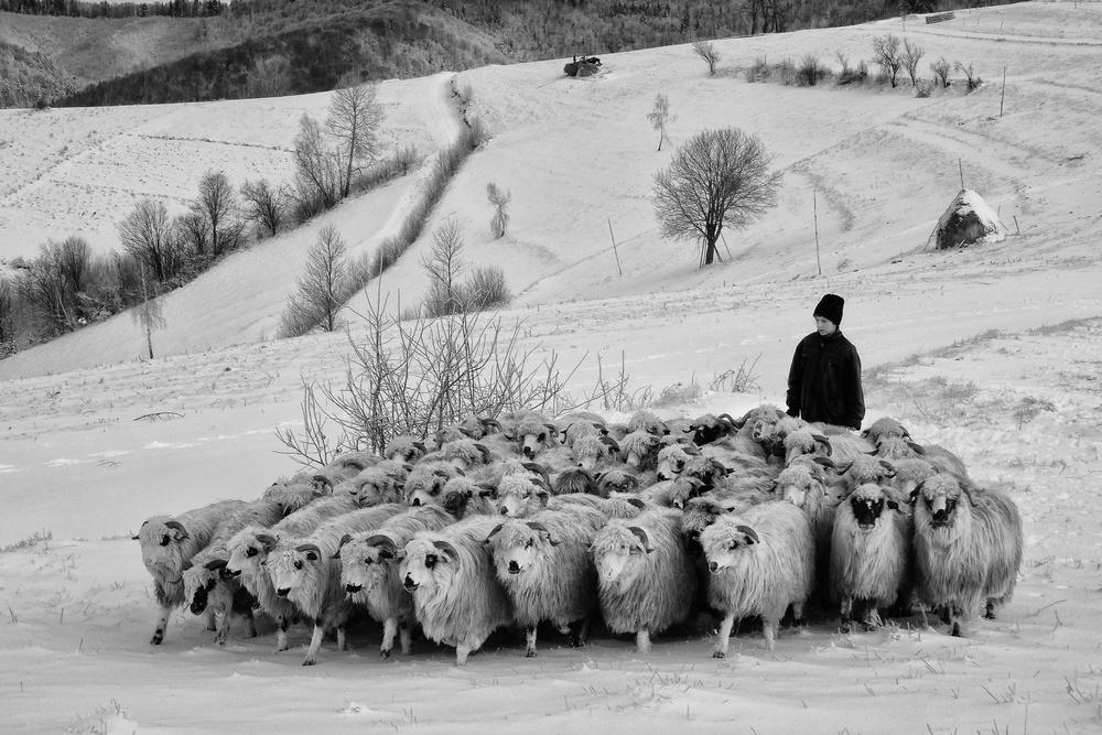 Poster shepherd of Holbav