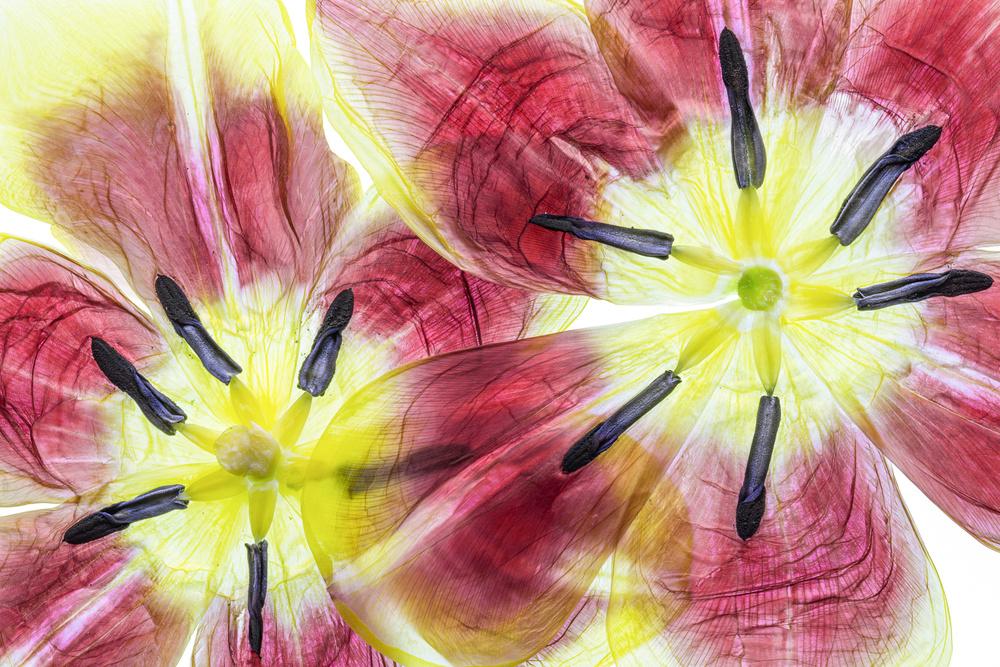 Fotokonst Tulips
