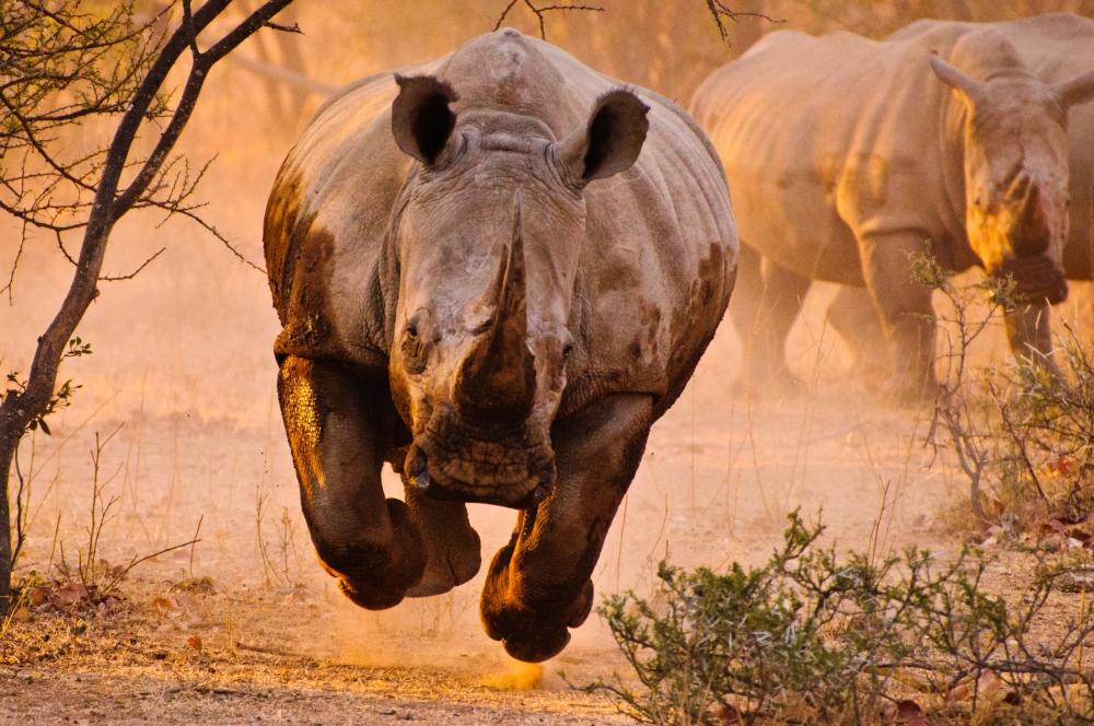 Fotokonst Rhino learning to fly