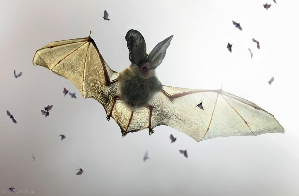 Fotokonst Bat