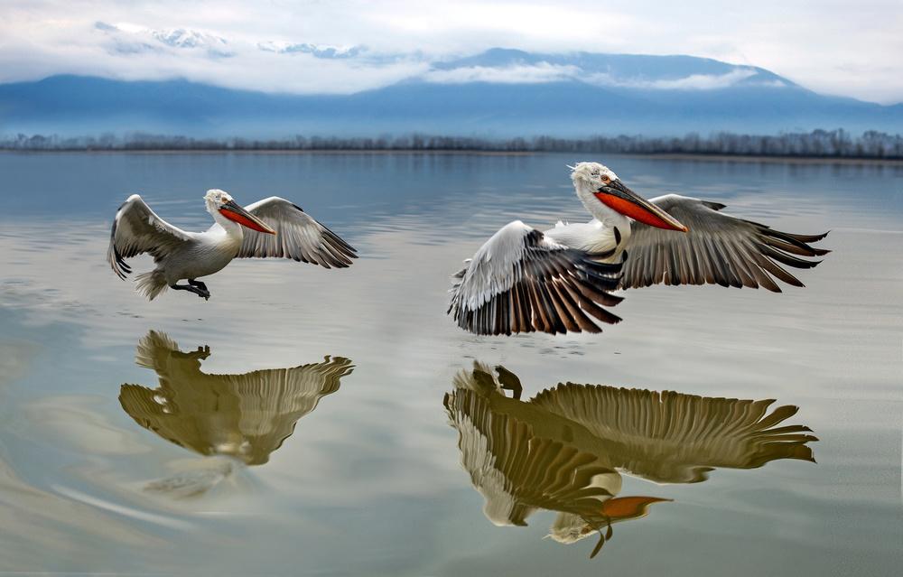 Fotokonst Pelicans flying