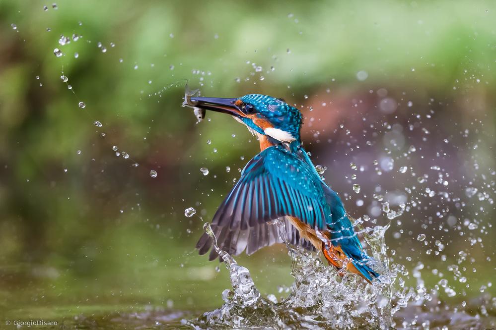 Fotokonst Kingfisher whit prey