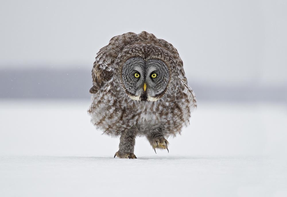 Fotokonst Great Grey Owl - Marching