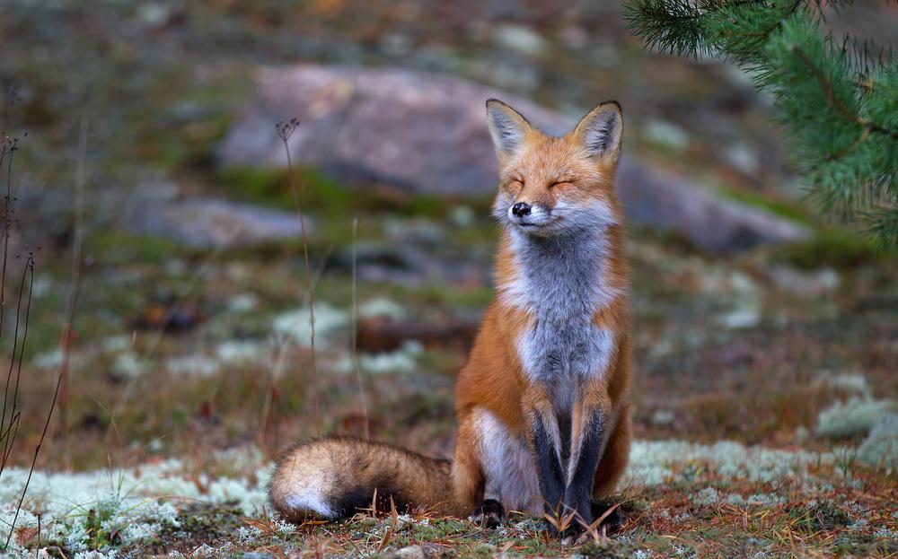Fotokonst Fox Zen