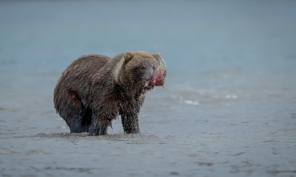 Fotokonst Bear With Salmon Fish