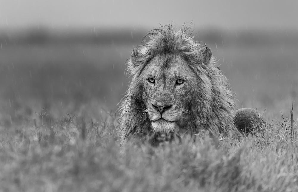 Fotokonst Lion
