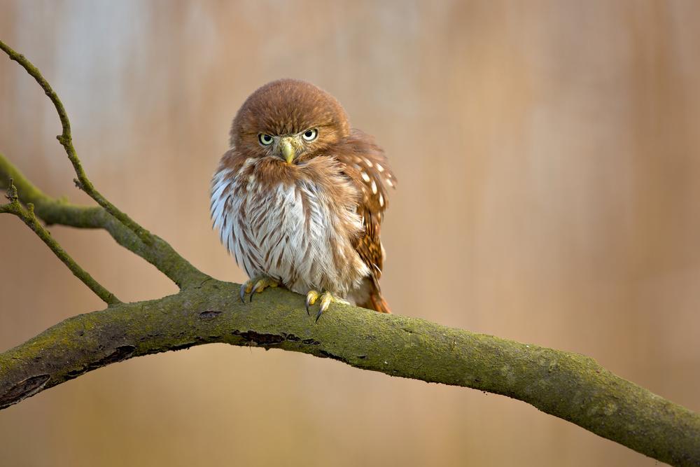 Fotokonst Ferruginous pygmy owl