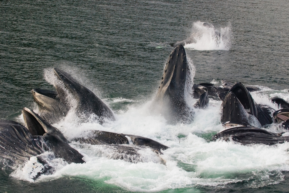 Poster Cooperative feeding in Humpback whales