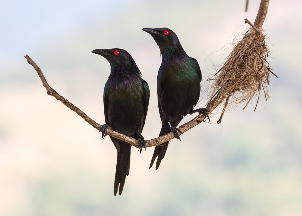 Poster Starling Couple