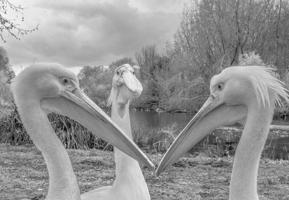 Poster Pelican trio