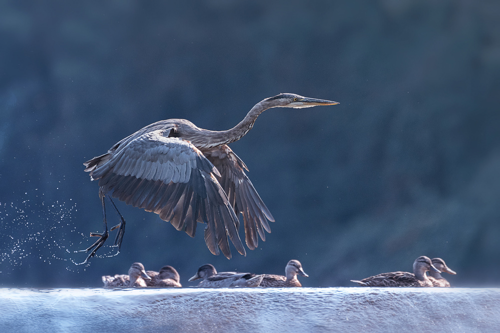 Fotokonst Blue Heron Taking Off