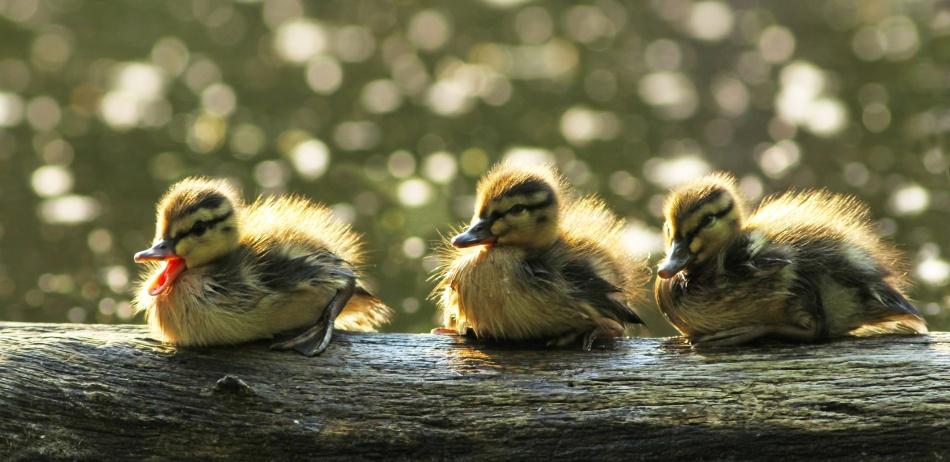 Poster Ducklings