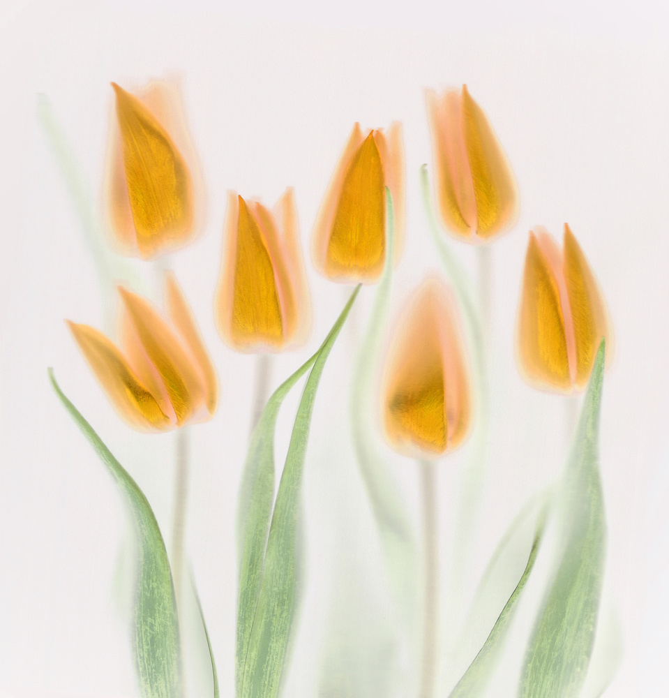 Poster Golden Tulips