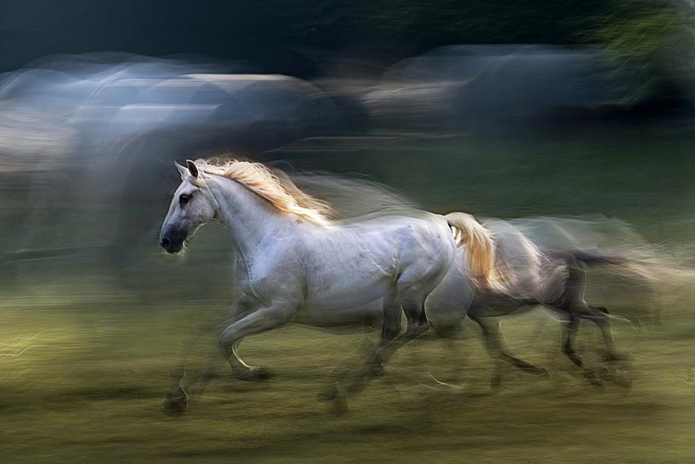 Fotokonst white mare into a gallop