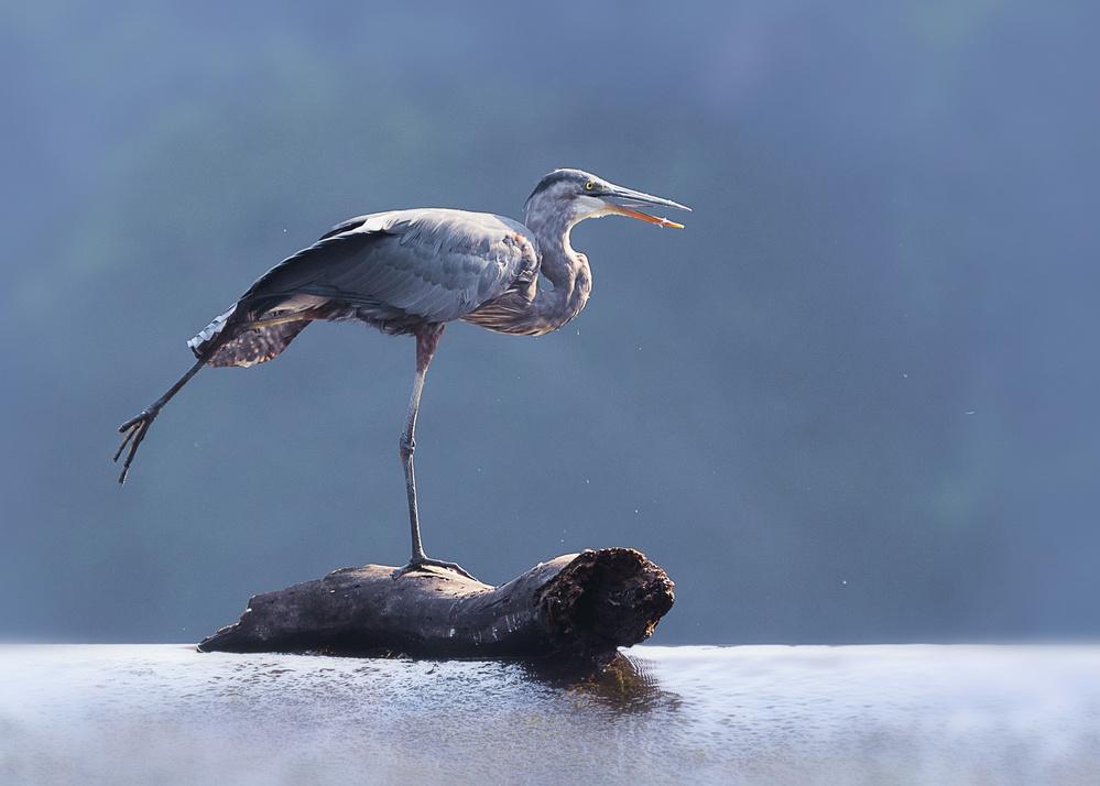 Fotokonst Blue Heron Doing Yoga