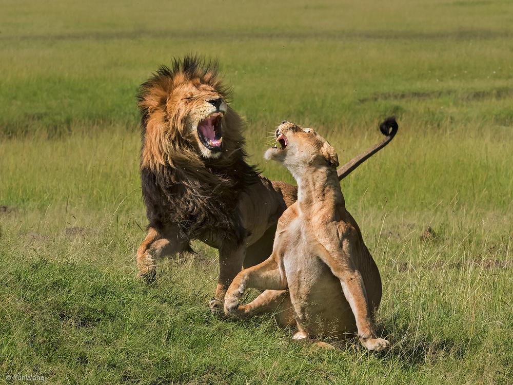 Fotokonst Lions mating