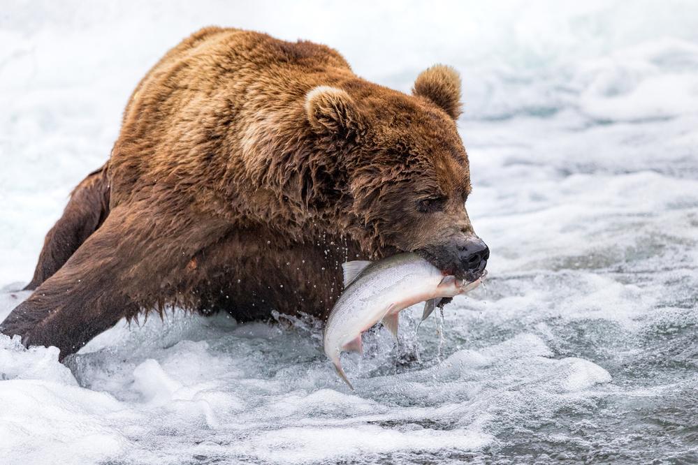 Fotokonst Brown Bear Fishing