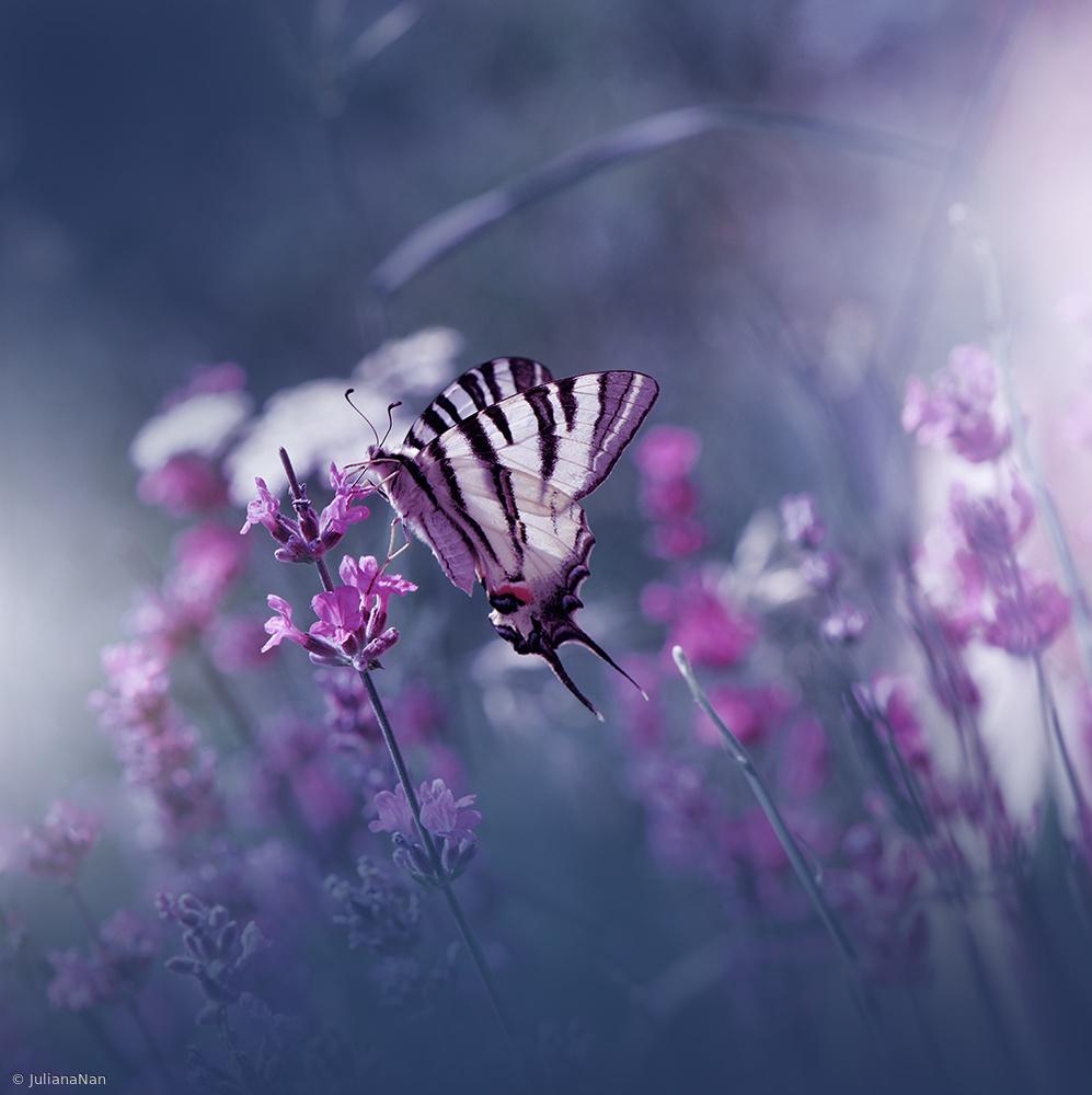 Fotokonst Lavender Queen...