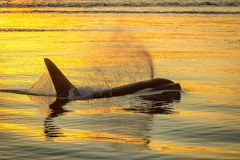 Poster Killer whale (orca) at sunset, Alaska