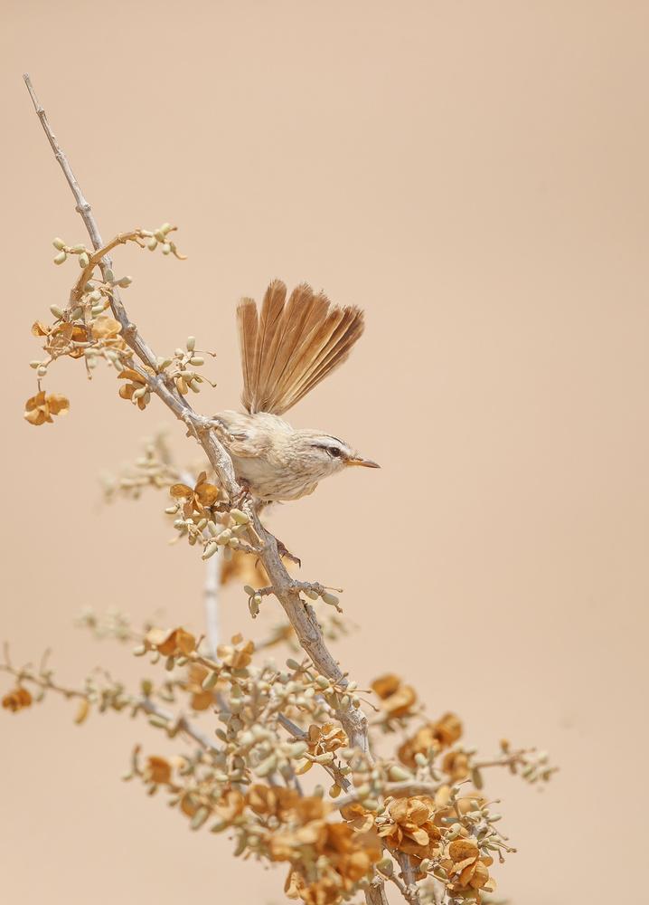 Fotokonst Scrub Warbler
