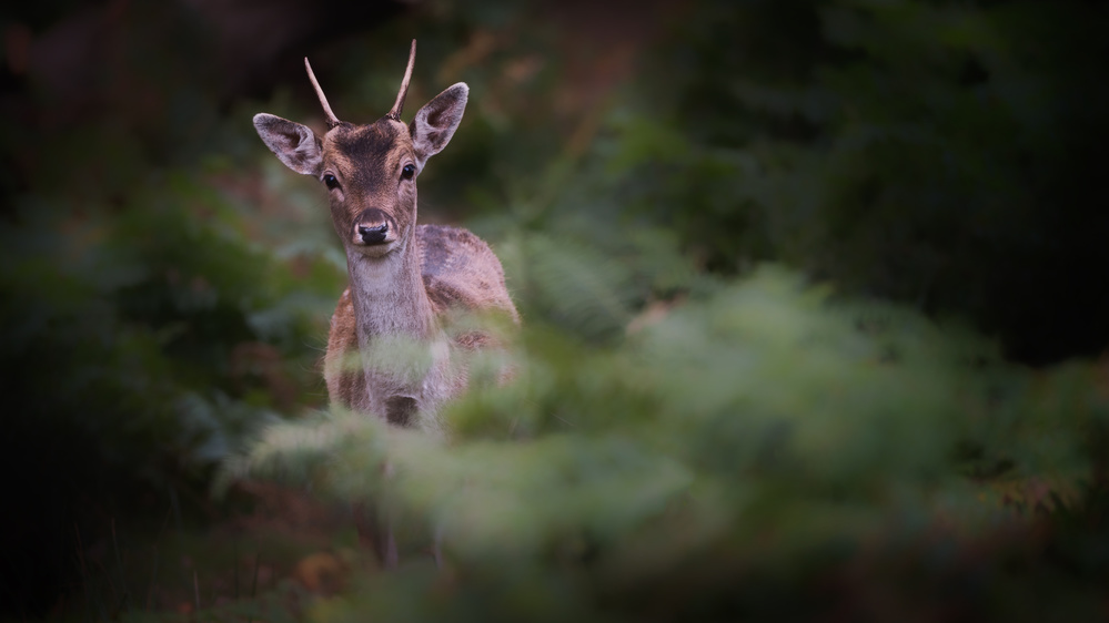 Fotokonst Young Fallow Deer