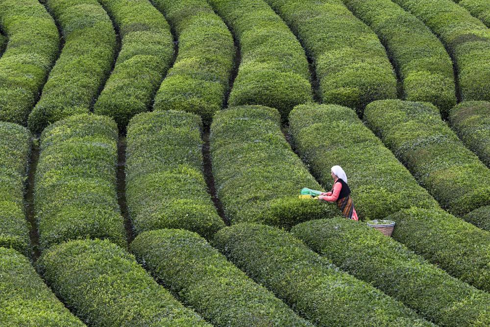Fotokonst Tea Harvest