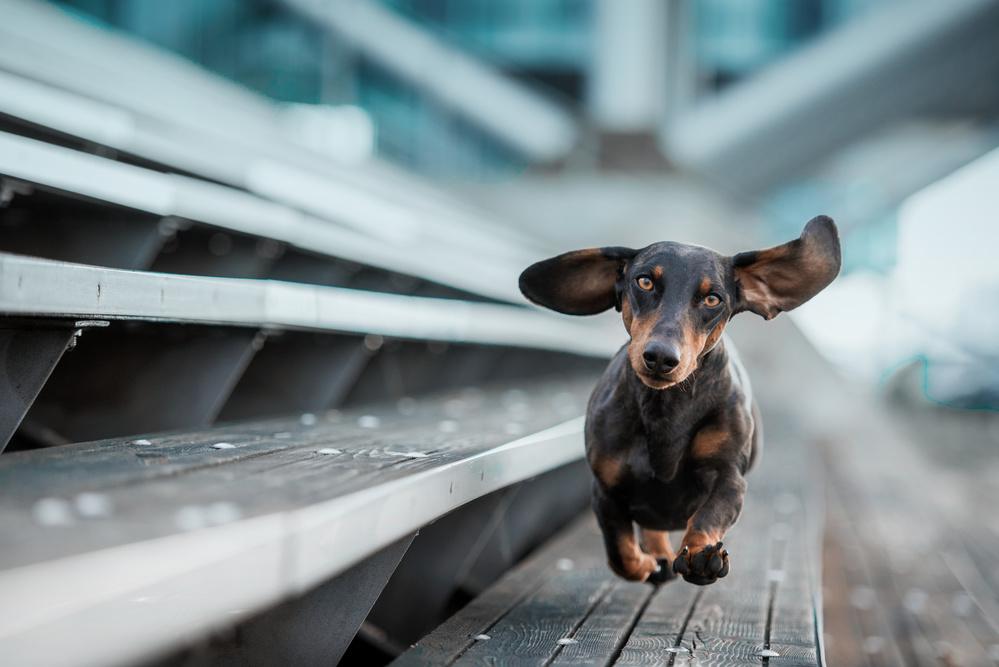 Fotokonst Ein kleiner Hund läuft durch die Welt....