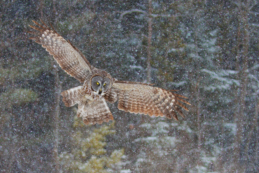 Poster Great Grey Owl in Snowfall