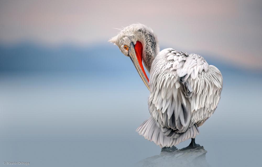 Fotokonst Dalmatian pelican at dawn