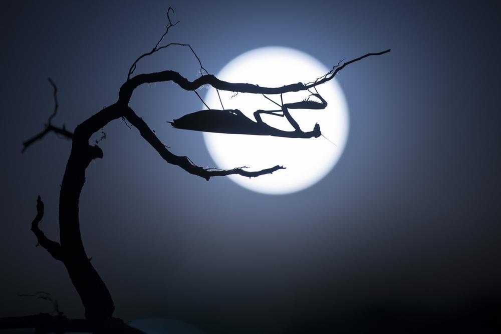 Poster Mantide al chiaro di luna