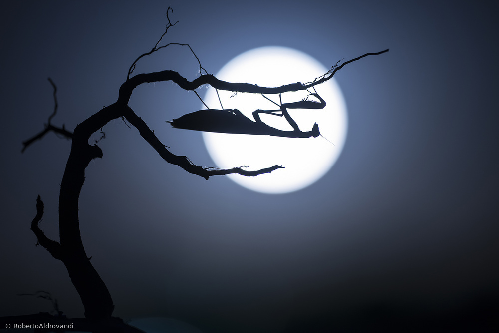 Fotokonst Mantide al chiaro di luna