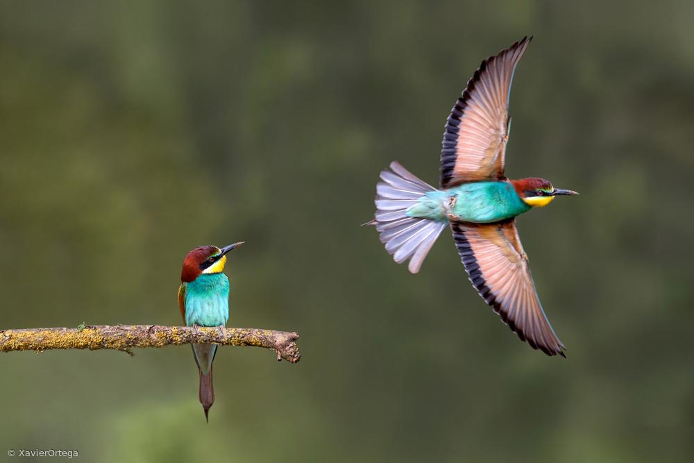 Fotokonst Bee-eater going for food
