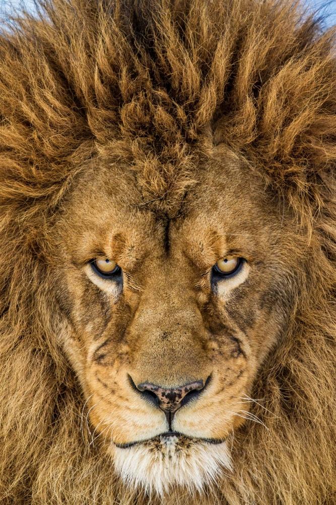 Fotokonst Serious Lion