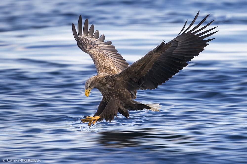 Fotokonst White-tailed Eagle