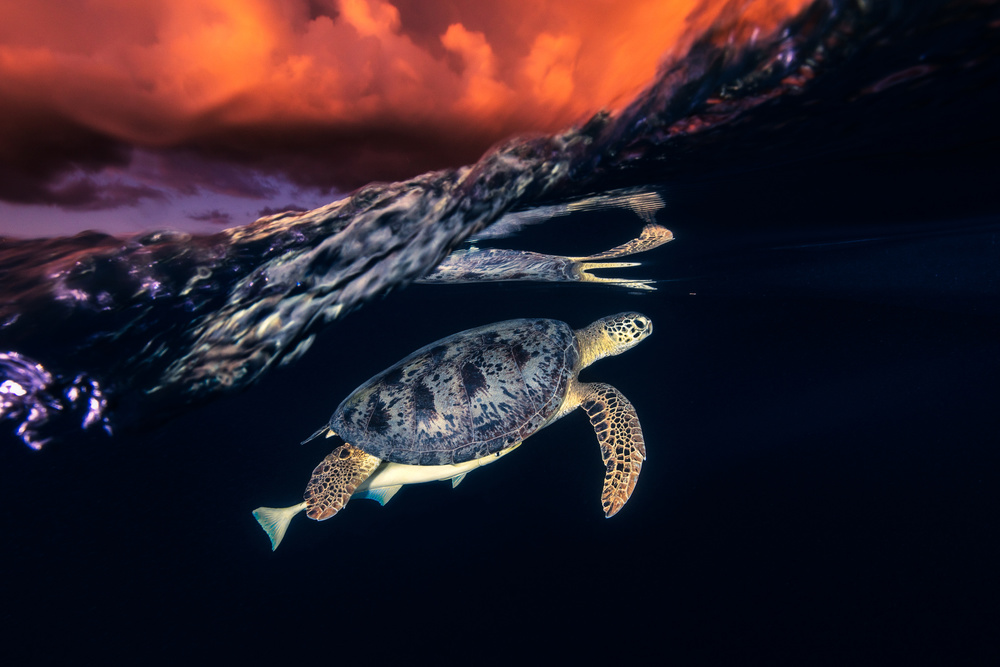 Fotokonst Green turtle and sunset - Sea Turtle
