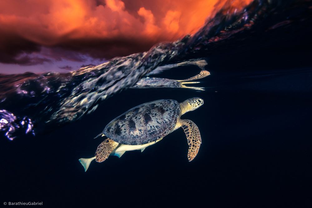 Fotokonst Green turtle and sunset - Sea Turtle