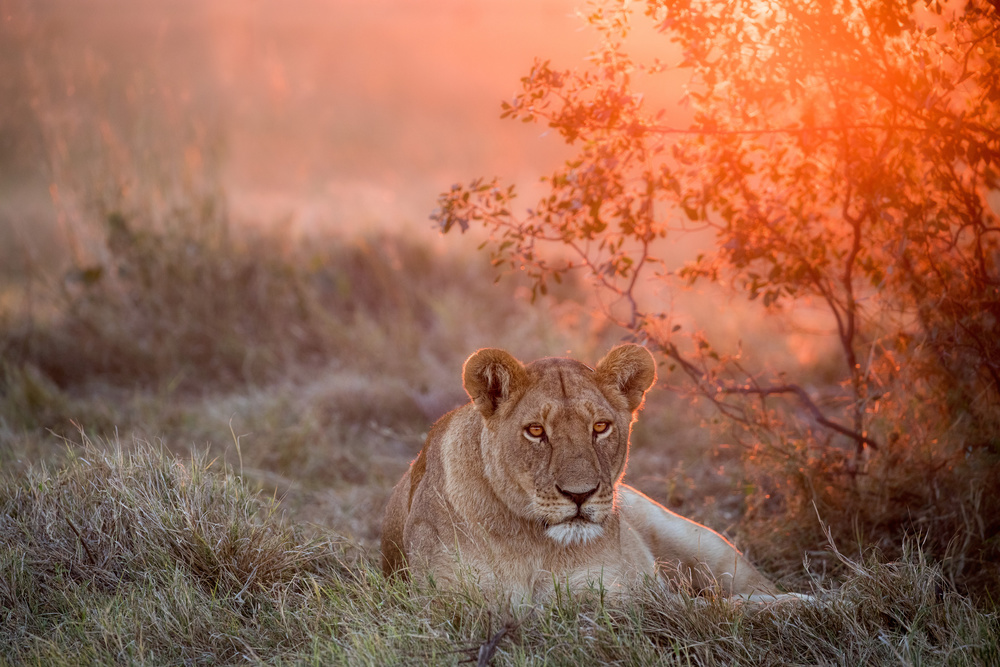 Fotokonst Sunset Lioness