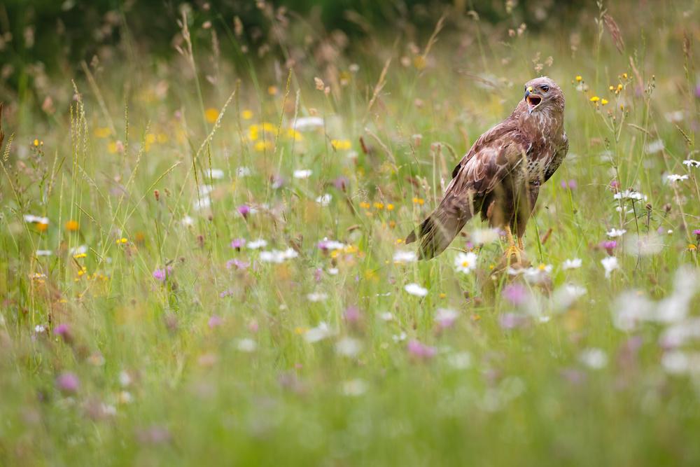 Fotokonst Spring buzzard