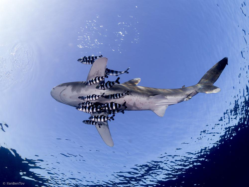 Fotokonst Oceanic White Tip Shark