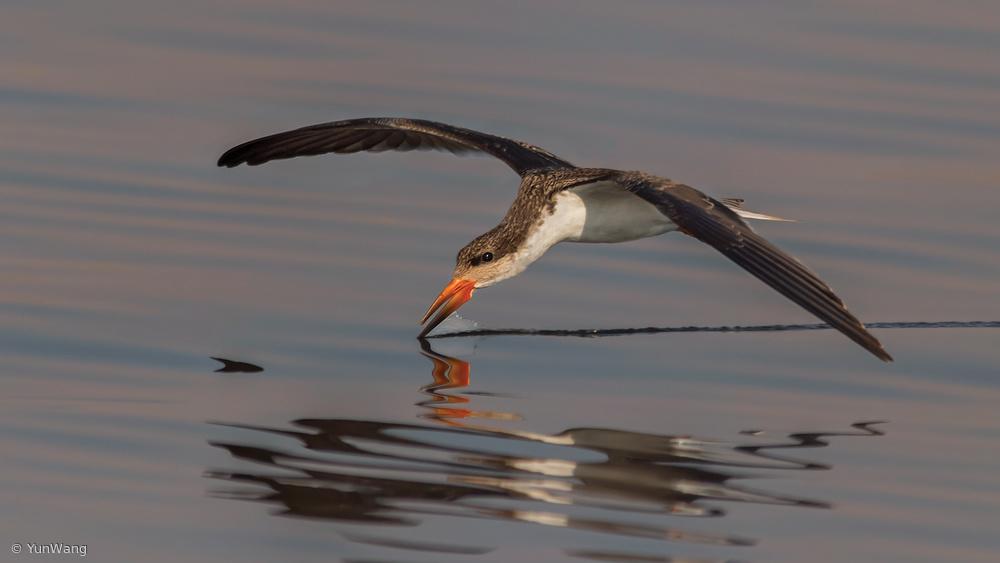 Fotokonst Skimmer fishing