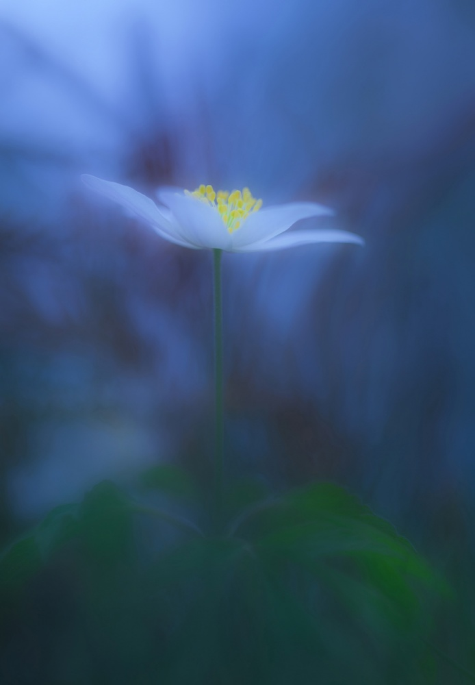 Poster Wood anemone