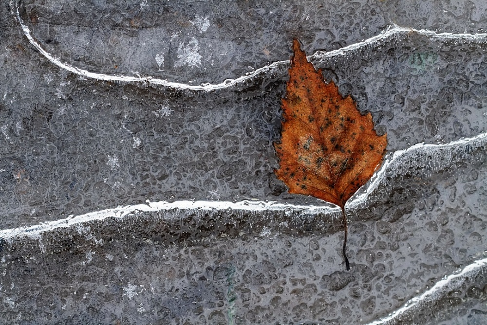 Poster Frozen leaf