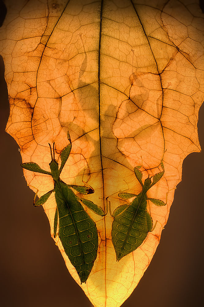 Fotokonst Leaf insects