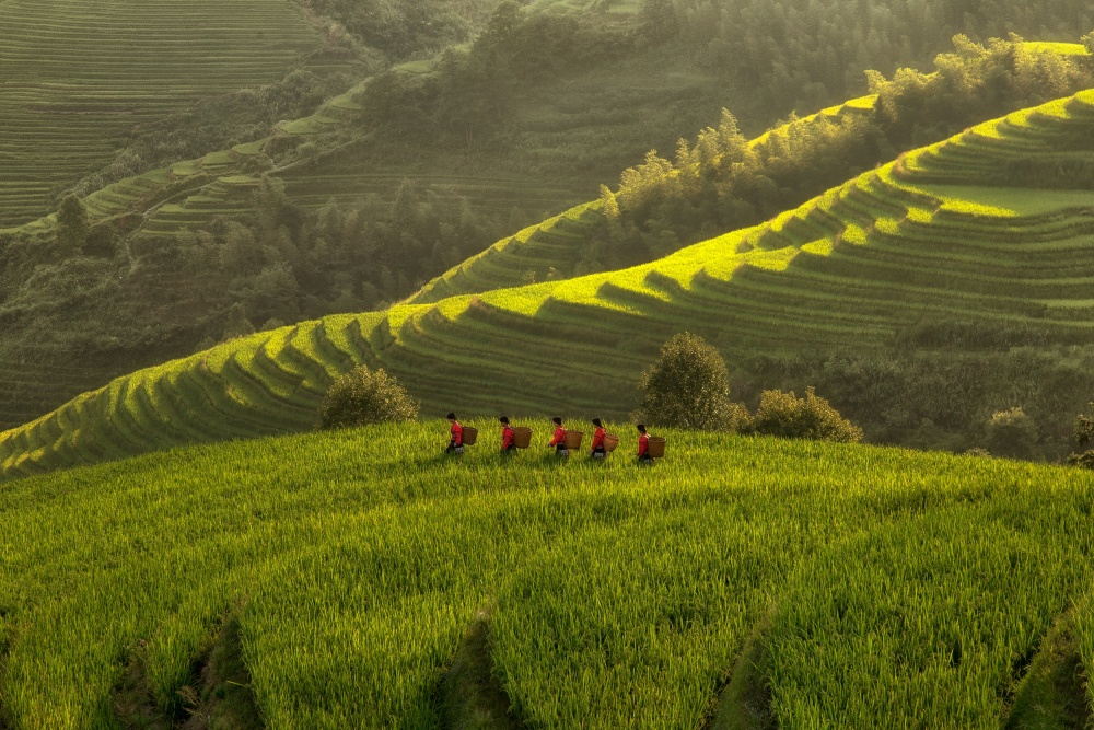 Five Ladies in Rice Fields