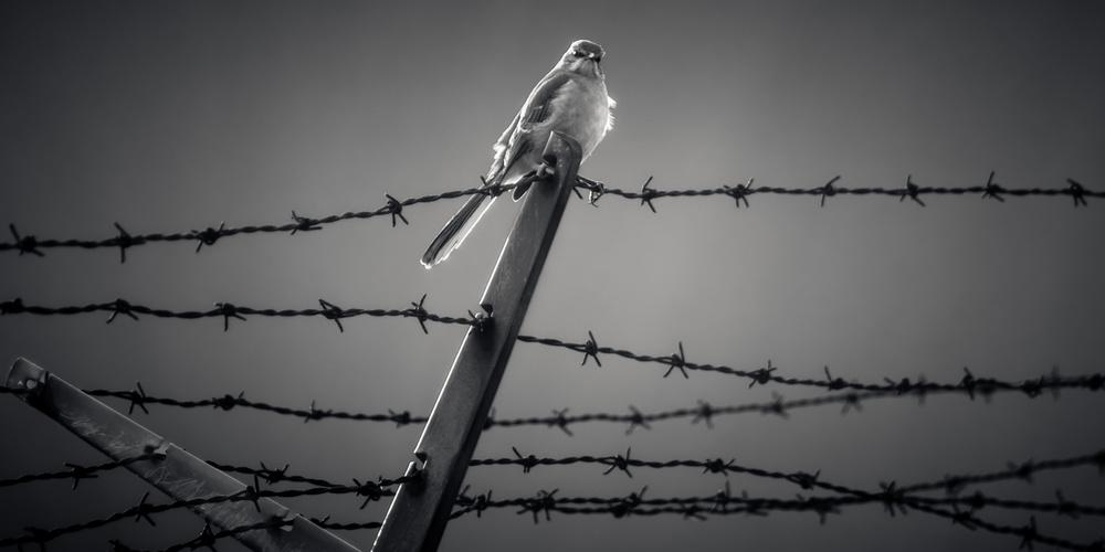 Poster Mocking Bird