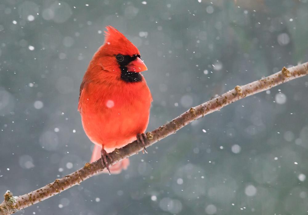 Fotokonst Mr. Cardinal in the snow