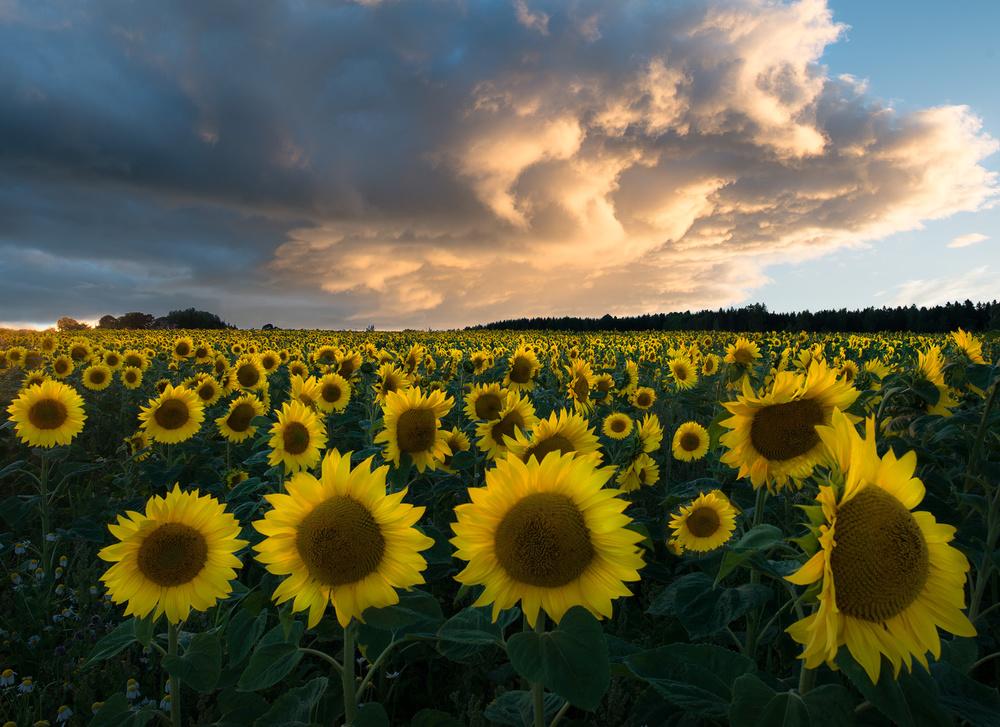 Fotokonst Sunflowers in Sweden.
