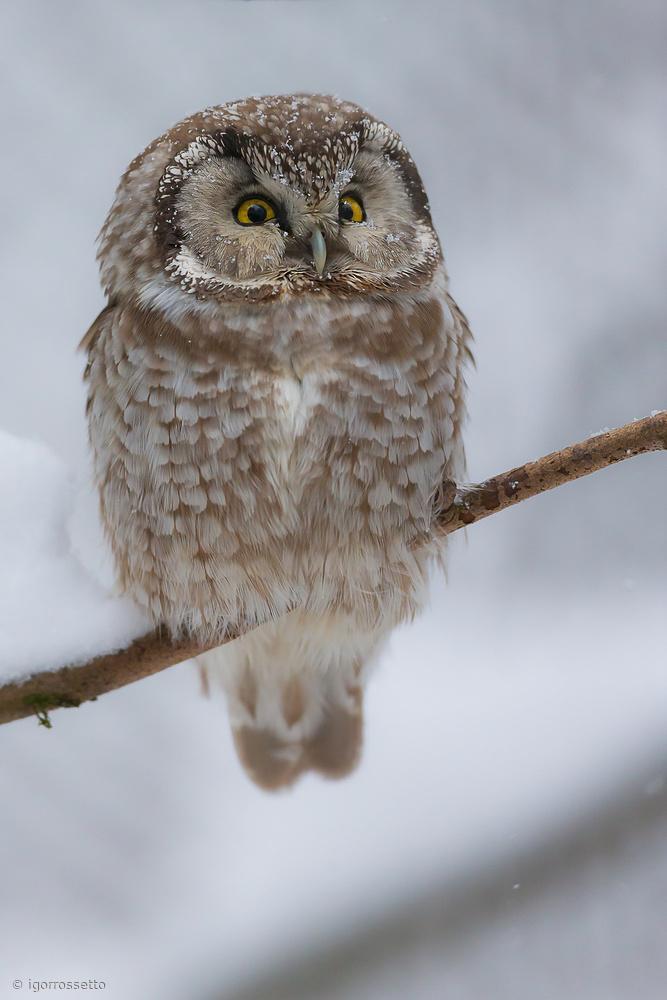 Fotokonst little owl