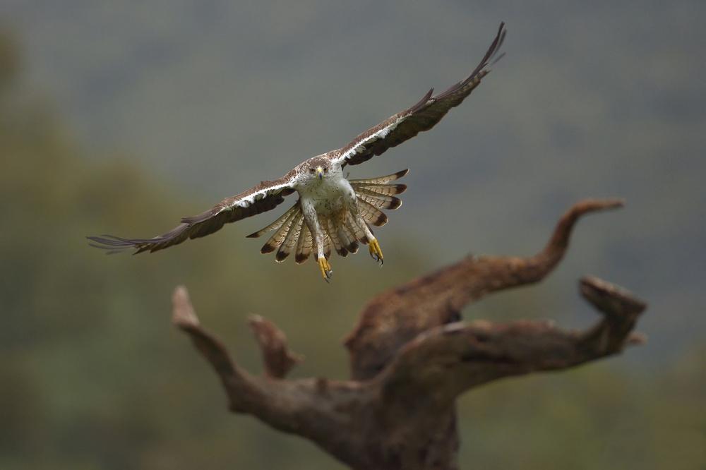 Poster Aquila fasciata