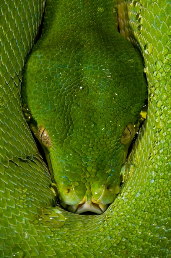 Fotokonst Morelia viridis - Green Tree Python